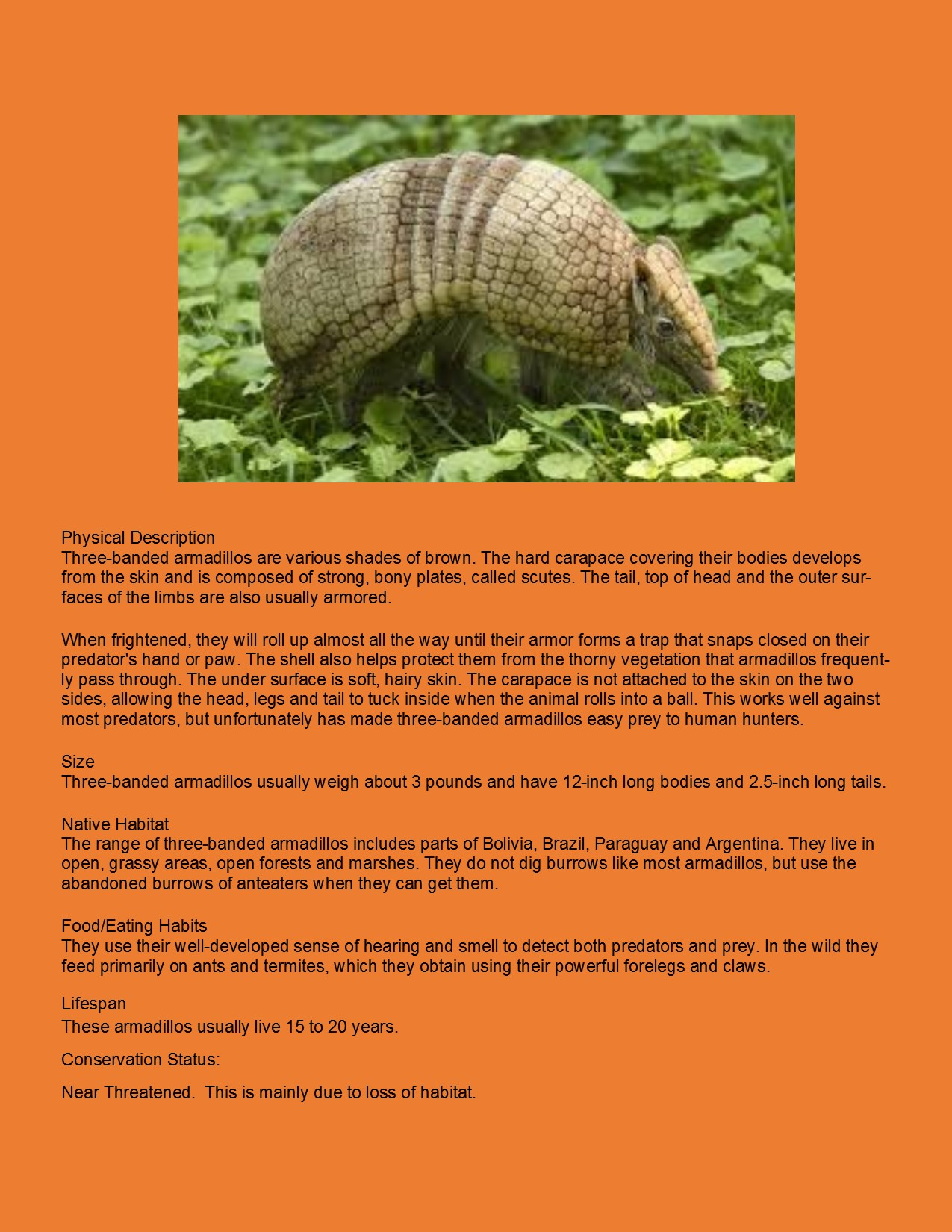 Three Banded Armadillo2